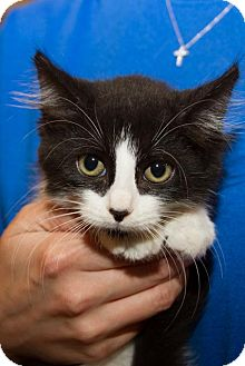 Domestic Longhair Kitten for adoption in Irvine, California - Callen