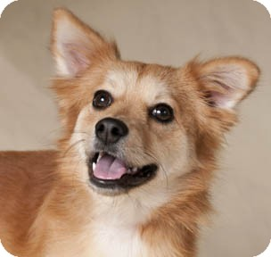 Sheltie, Shetland Sheepdog/Pomeranian Mix Dog for adoption in Chicago, Illinois - Meg