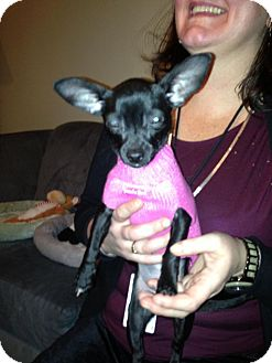Chihuahua Mix Puppy for adoption in Chicago, Illinois - Penelope