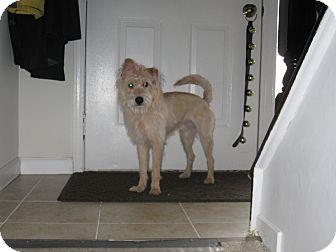 Skye Terrier Mix Dog for adoption in Millersville, Maryland - Kodi