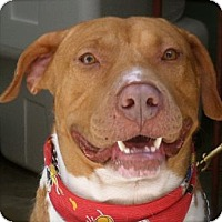 American Staffordshire Terrier/Labrador Retriever Mix Dog for adoption in Los Angeles, California - Manny-VIDEO