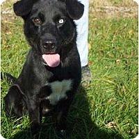 Adopt A Pet :: BluePENDING - Toronto/Etobicoke/GTA, ON