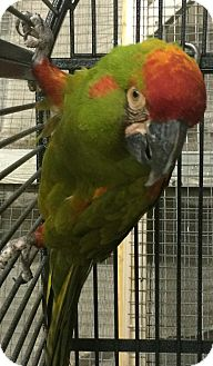 Macaw for adoption in Burleson, Texas - Nugent