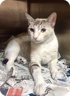 Siamese Cat for adoption in Whitestone, New York - Neptune