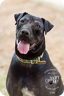 Shar Pei Mix Dog for adoption in Chandler, Arizona - LIZA
