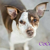 Terrier (Unknown Type, Medium) Mix Dog for adoption in Crandall, Georgia - CoCo