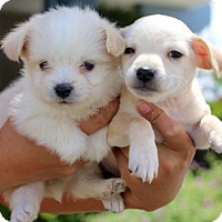 Adopt A Pet :: Food Network Puppies - Males - San Diego, CA