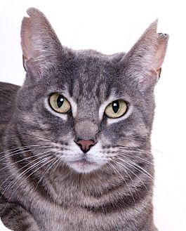 Domestic Shorthair Cat for adoption in Libertyville, Illinois - Cuddles