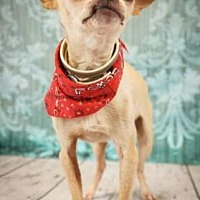 Chihuahua Mix Dog for adoption in Scottsdale, Arizona - Dino