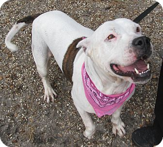 Pit Bull Terrier Mix Dog for adoption in Voorhees, New Jersey - Chanel