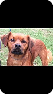 Golden Retriever/Irish Setter Mix Dog for adoption in Hanover, Pennsylvania - DAISY ~ IN TRIAL!