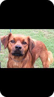Golden Retriever/Irish Setter Mix Dog for adoption in Hanover, Pennsylvania - DAISY ~ FEMALE  MIX