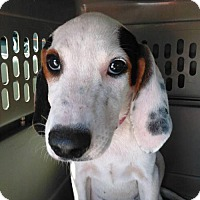 Adopt A Pet :: Coonhound puppy 4 - El Cajon, CA