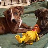 Boxer/Hound (Unknown Type) Mix Puppy for adoption in Crestview, Florida - Gemma