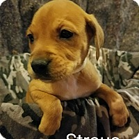 Labrador Retriever/Shepherd (Unknown Type) Mix Puppy for adoption in Newport, Kentucky - Straus