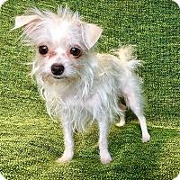 Adopt A Pet :: TinkerBelle - Encino, CA