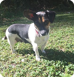 Jack Russell Terrier/Dachshund Mix Dog for adoption in Boca Raton, Florida - Lolly