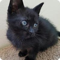 Domestic Longhair Kitten for adoption in Monrovia, California - Jerome