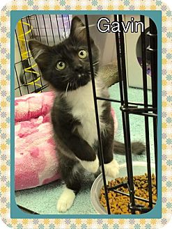 Domestic Shorthair Kitten for adoption in Atco, New Jersey - Gavin