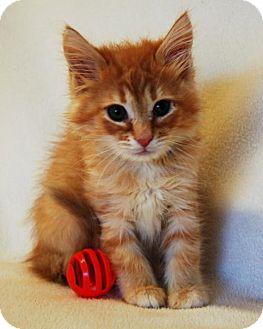 Domestic Mediumhair Kitten for adoption in Toccoa, Georgia - Bugsy