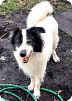 Border Collie/Husky Mix Dog for adoption in Bradenton, Florida - Harou