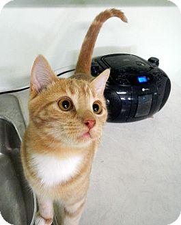 American Shorthair Kitten for adoption in Creston, British Columbia - Kato