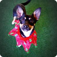 Adopt A Pet :: Atillio - Casa Grande, AZ