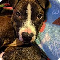 Pit Bull Terrier Mix Puppy for adoption in Dayton, Ohio - Kekoa