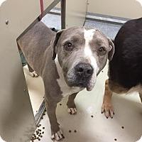 Adopt A Pet :: Shaquira - Westminster, CA