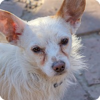 Terrier (Unknown Type, Small)/Westie, West Highland White Terrier Mix Dog for adoption in Denver, Colorado - Riley