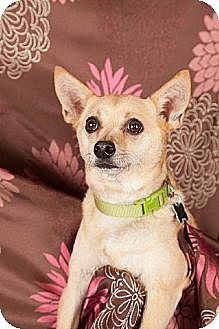 Chihuahua Dog for adoption in Elizabethtown, Pennsylvania - Rico