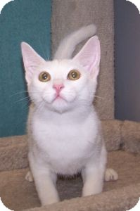 Domestic Shorthair Kitten for adoption in Colorado Springs, Colorado - K-Emery2-Maxwell