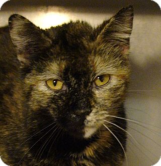 Domestic Shorthair Cat for adoption in El Cajon, California - Penny