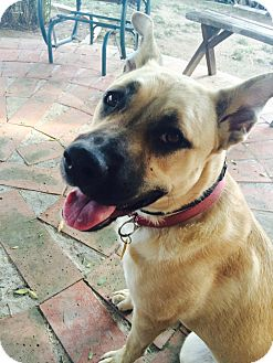 German Shepherd Dog Mix Puppy for adoption in Katy, Texas - Roxy
