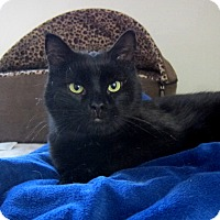 Adopt A Pet :: Toby (cuddly lap cat) - Roseville, MN