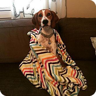 Treeing Walker Coonhound/Hound (Unknown Type) Mix Dog for adoption in Toledo, Ohio - Charlie