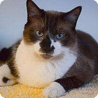 Adopt A Pet :: Shadow - Bradenton, FL