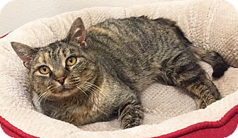 Domestic Shorthair Cat for adoption in Colorado Springs, Colorado - Lourdes