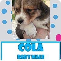 Adopt A Pet :: Cola - Hanover, PA