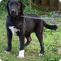 Adopt A Pet :: Will - Hartford, CT