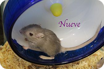 Gerbil for adoption in Bradenton, Florida - Nueve