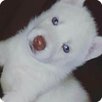 Adopt A Pet :: Diva - Auburn, CA