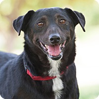 Dachshund/Terrier (Unknown Type, Small) Mix Dog for adoption in Washoe Valley, Nevada - Archie