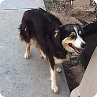 Australian Shepherd Dog for adoption in Odessa, Texas - Bella