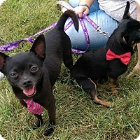 Adopt A Pet :: Cheech and Chong - Jerseyville, IL