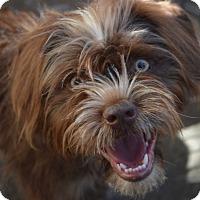 Adopt A Pet :: Charlie Chaplin - Ogden, UT