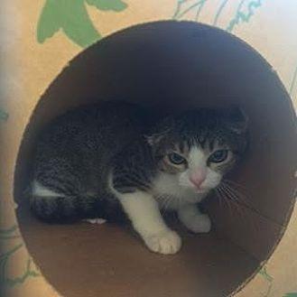 Domestic Shorthair Cat for adoption in Denver, Colorado - Wes