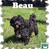 Shih Tzu Mix Dog for adoption in Fallston, Maryland - Beau