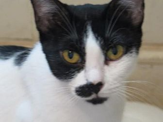 Domestic Shorthair Cat for adoption in Chattanooga, Tennessee - * Jodie & Josie