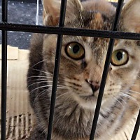 Calico Cat for adoption in Monrovia, California - Tiger Lily
